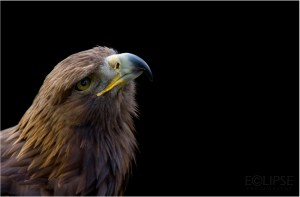Golden Eagle, animal photography, animal portrait, wildlife photography, animal portrait, animal portraiture, bird photography, protected species, The Hawk Conservancy