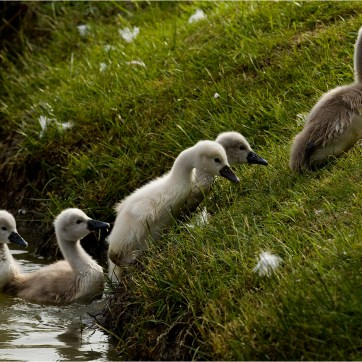 Cygnets, Mute swan cygnets, animal photography, animal portrait, wildlife photography, animal portrait, animal portraiture