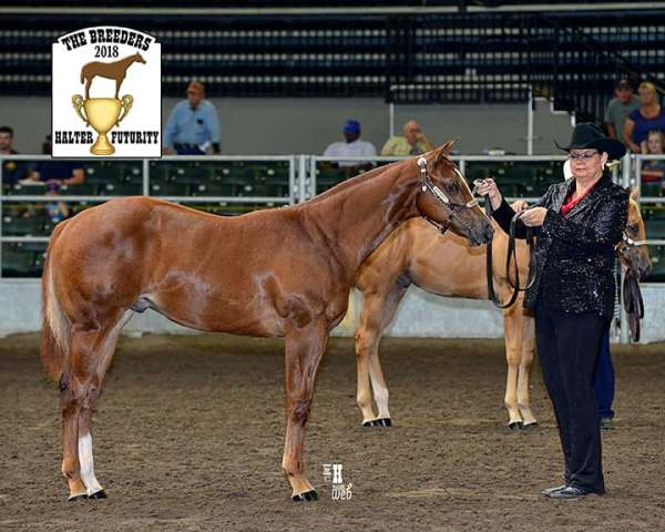 Mr Louie Vuitton AQHA Sorrel Stallion