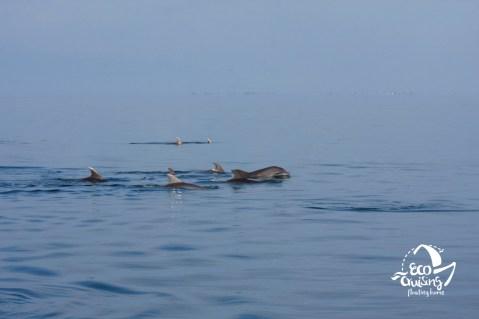 Ρινοδέλφινα στον Αμβρακικό