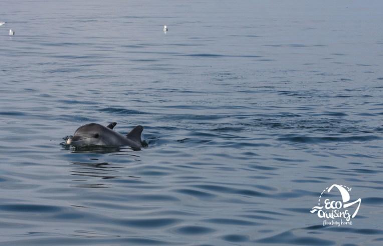 Ρινοδέλφινο στον Αμβρακικό