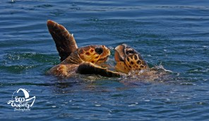 LOGGERHEAD DURING MATING