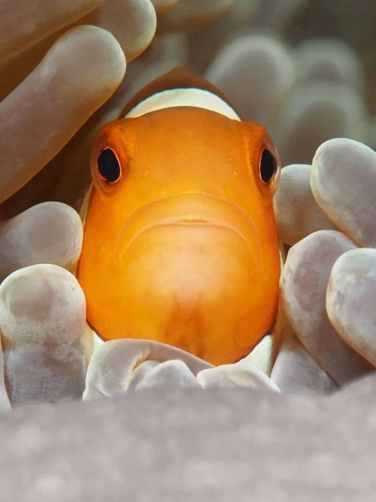 Clownfish by Bengkeat Chng