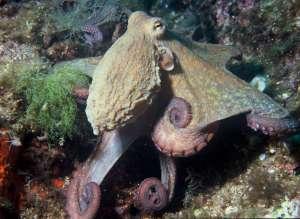 Charte de qualité Marine en Baie de Cannes - Le poulpe se reproduit et ventile ses petits du 1er juin au 30 septembre. Pêcher un poulpe à cette période-là revient à tuer potentiellement des dizaines voire des centaines de bébés poulpes.