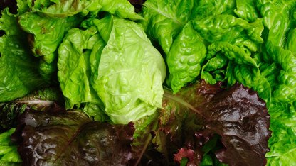mixed organic lettuce leaves red and green