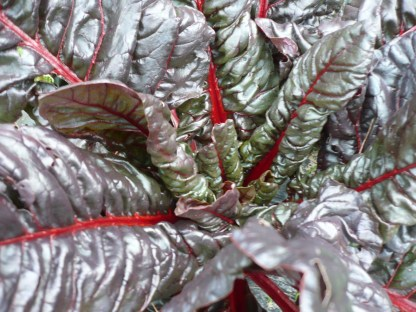 close up on organic red silverbeet plant