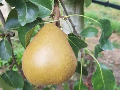 one organic pear winter nellis hanging on tree