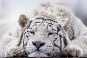 Un tigre en voie d'extinction