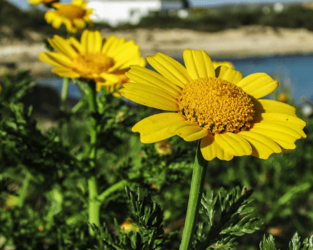 beneficios arnica