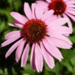 Equinácea, propiedades y beneficios de esta planta medicinal