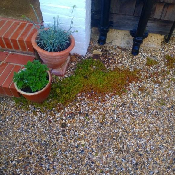 Self seeded sedum growing in gravel driveway