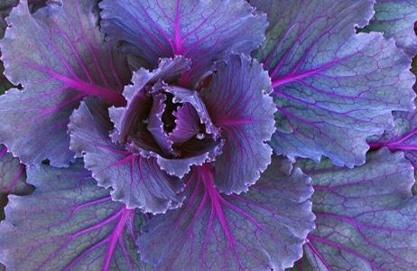 cabbage rejuvelac