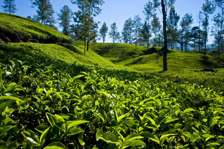 Dilmah-Tea-Garden-Somerset-Tea-Estate-002