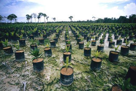 Área de floresta tropical na Indonésia em 'transição' para cultura de palma (dendezeiro)