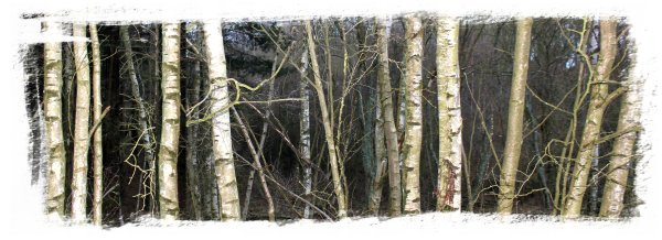 Hurst Wood, Charing - a stand of young birch trees