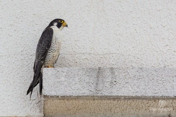 Falcão-peregrino em Americana . Créditos Tiago Degaspari - ECOFOTO (DSC_0907)