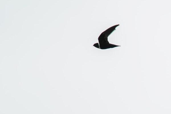 taperuçu-de-coleira-branca