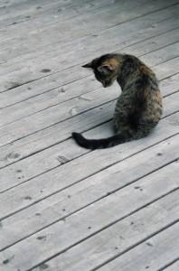 Domestic Cats kill birds