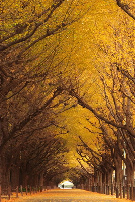 Tree Tunnel Gingko