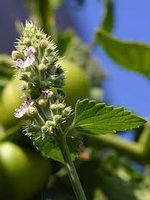 catnip plant is one of the best mosquito repellents