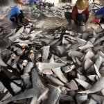 shark fin shark week sharks for squalene, meat and fins