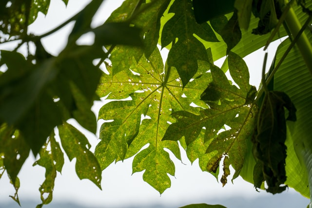Health Benefits of Pawpaw Leaves