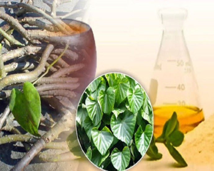 giloy ayurvedic plant