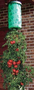 hanging tomato plant