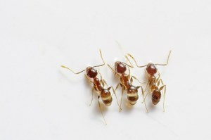 Natural Pest Control Method for Ants