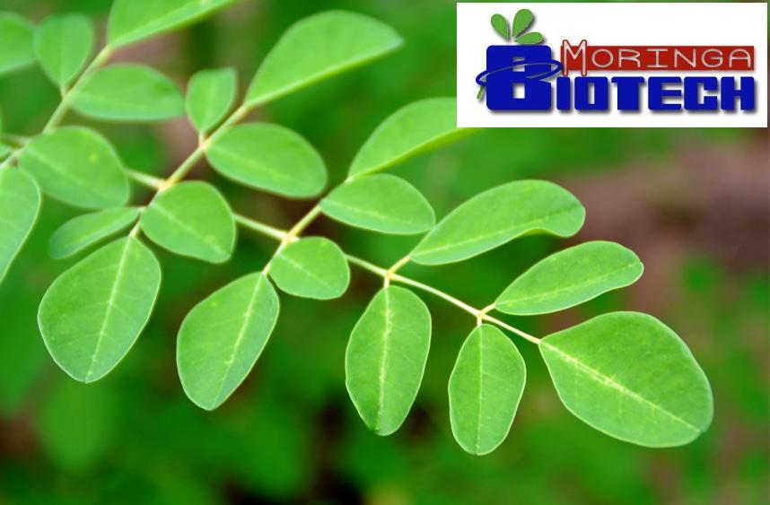 Moringa-Biotech