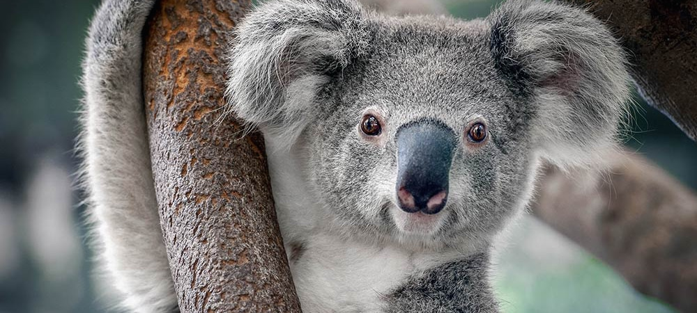 Le koala
