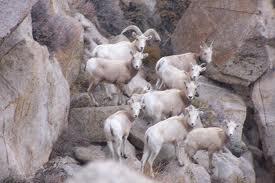 goat prairie