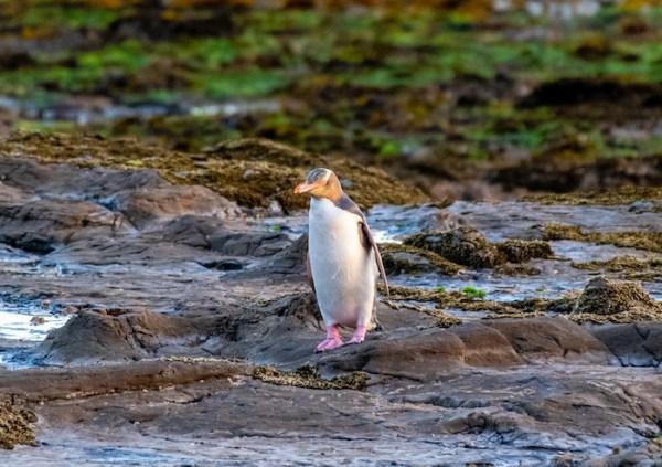 Yellow-eyed penguin on the coast of New Zealand