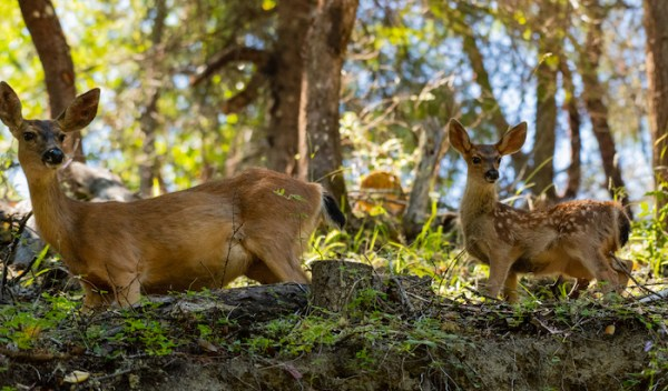 A mother and fawn in the woods outside of Ashland, Oregon