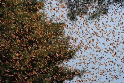 farfalle-monarca.jpg