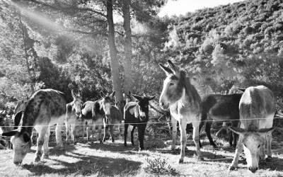 Limpieza de cauces con burros