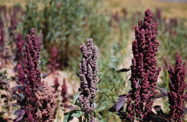 nelle marche si produce quinoa