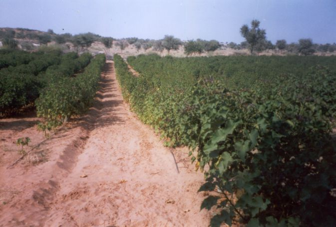 Jatropha-Plantation-Rajastan-India