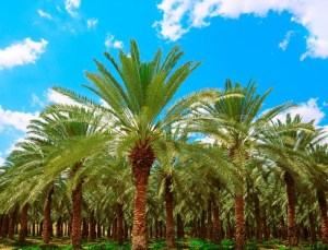 date-palm-waste-management