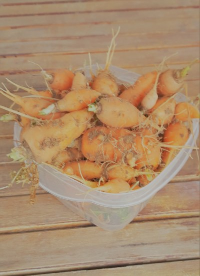 1 pound carrots in container