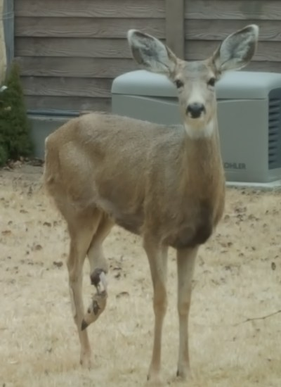 three legged doe