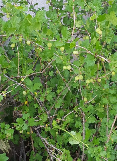 Close up view of gooseberries