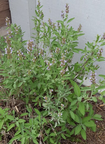 Sage with purple bloom