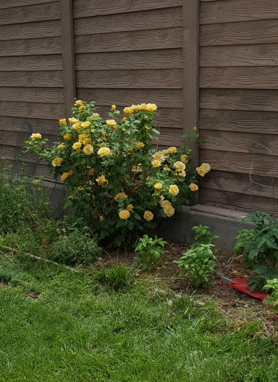 Rose with yellow blooms