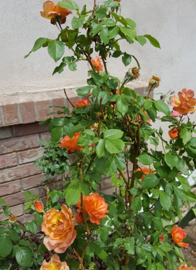 Rose with yellow orange flowers