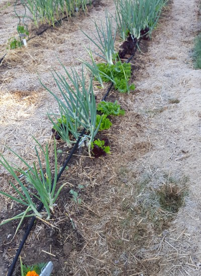 Garden row of onion and lettuce