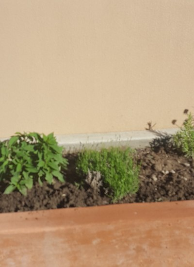 Lemon Grass, Pineapple sage, Lavender and Rosemary