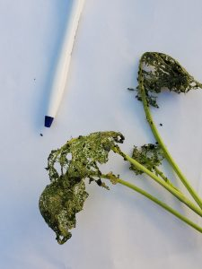 Broccoli plant damaged by flea beetles