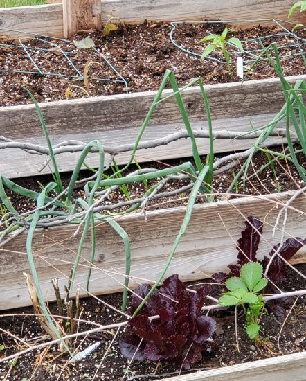 A three tiered planter with Peppers and sweet potatoes, onions, lettuces and strawberries