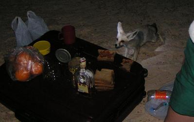 Лисенок (Фенек) ночью в восточной Сахаре 09.05.2006